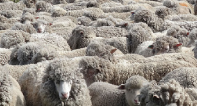 Wool prices down 50% since early last year