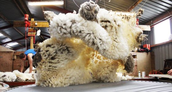 Unsold wool purchase programme rolled out