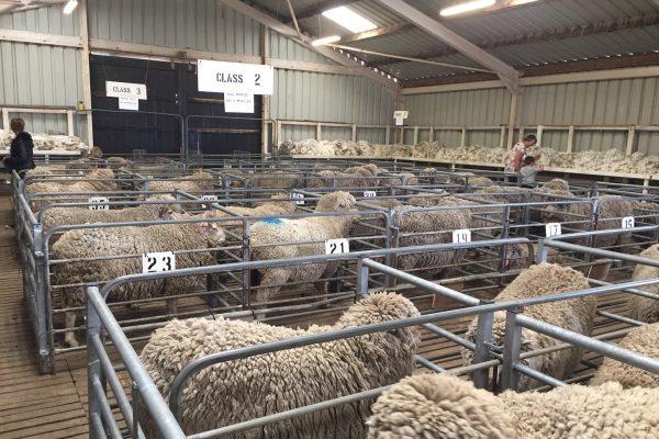£1.2m paid on Falkland Islands wool support scheme so far